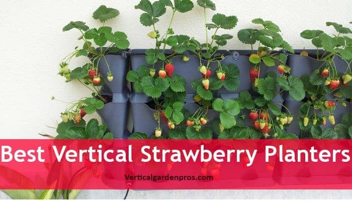 Strawberries Are Simple To Grow In Any Flower Pots Or Containers And They Like Be Grown Loamy Soil That Contains More Organic Materials