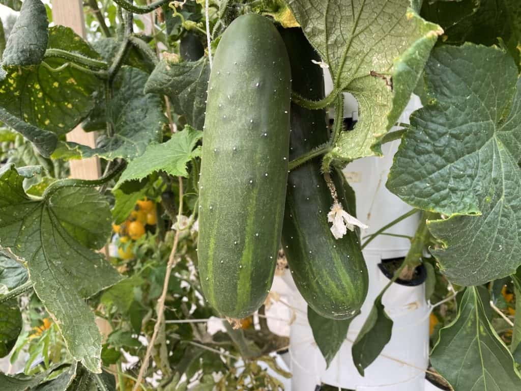 cucmbers grown aeroponically