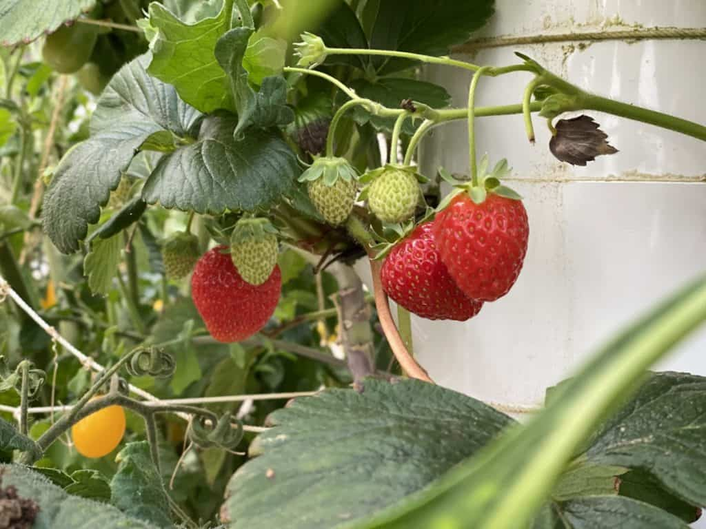 strawberries grown aeroponically