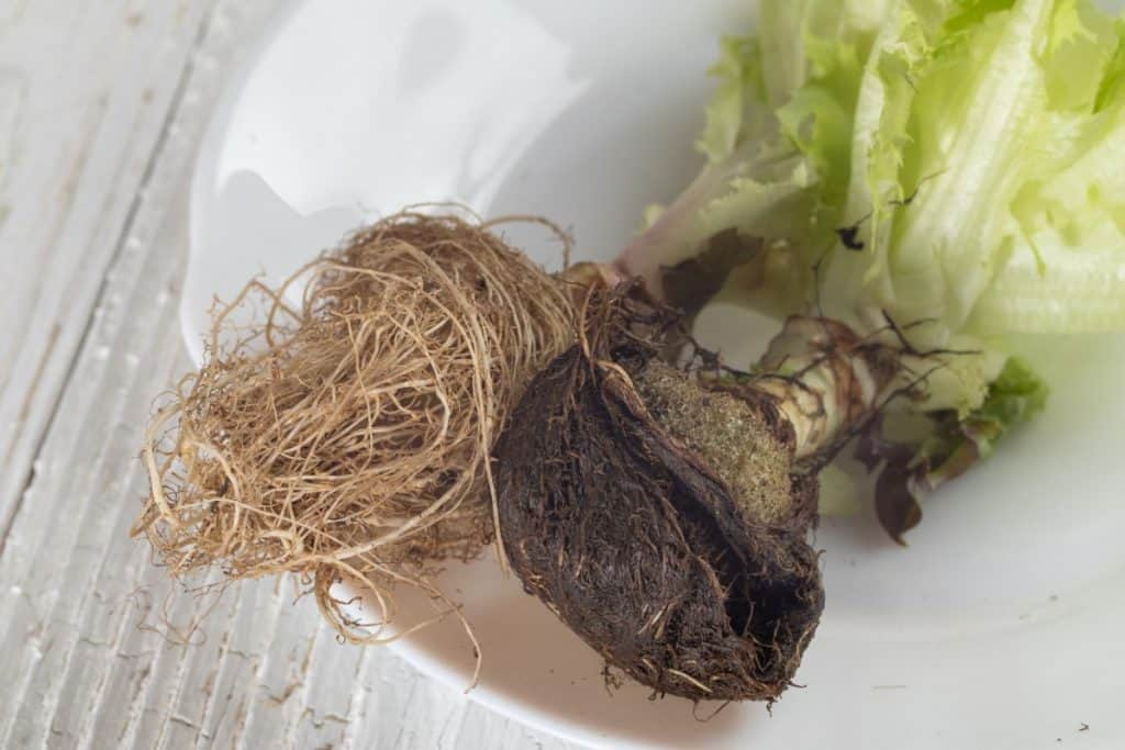 root rot in hydroponics