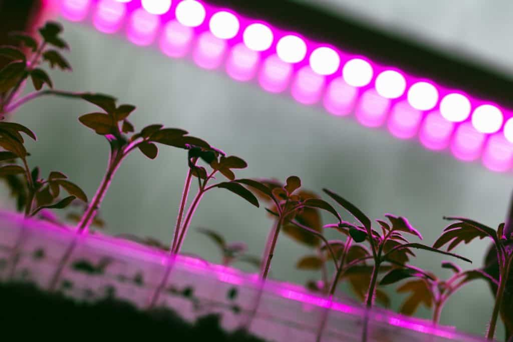 Purple grow lights